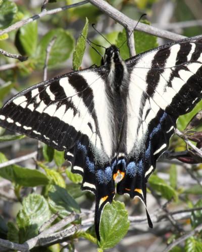 Motyl, który kiedyś u nas występował, powrócił